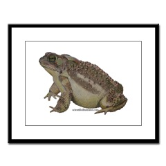 American Toad Framed Print