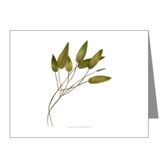 Pond Weed Note Cards